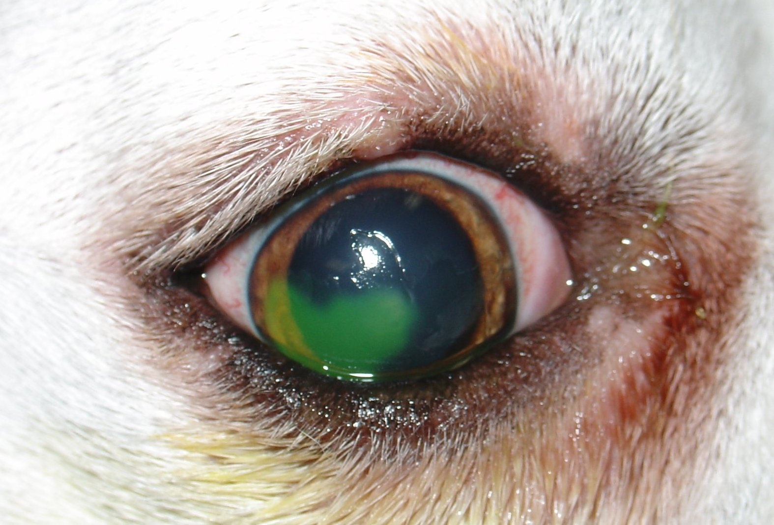 Medicine For Red Eyes In Dogs